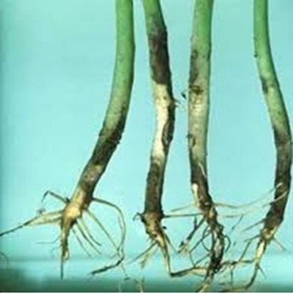 Một số loại bệnh hại trên cây cà chua và biện pháp phòng trừ (Tiếp theo và hết)