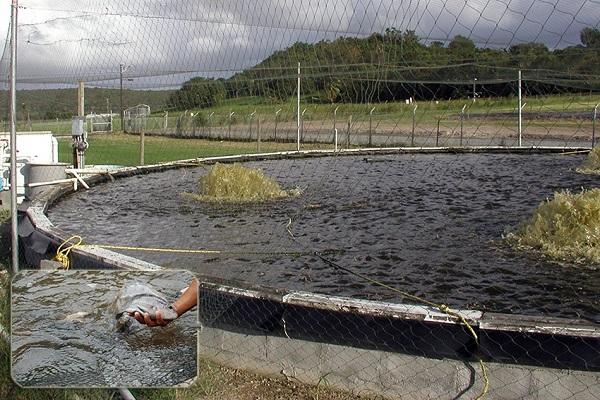 Độ pH lý tưởng để nuôi cá rô phi