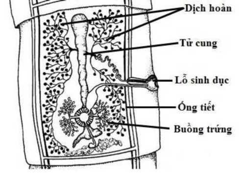Những điều cần biết về bệnh lợn gạo do sán dây Taenia spp. gây ra