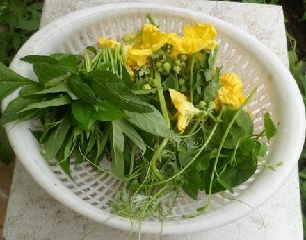 Làm cách đơn giản này, mướp trồng tại nhà sẽ cho trái quanh năm
