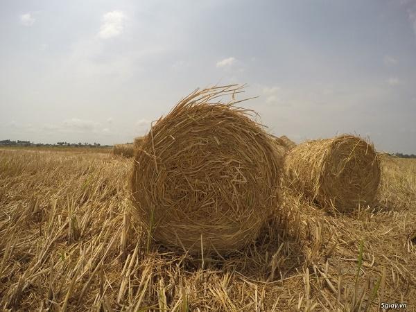 Xử lý rơm khô làm thức ăn cho trâu, bò hiệu quả