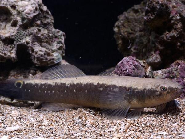 Sinh sản nhân tạo đặc sản cá bống bớp hiệu quả