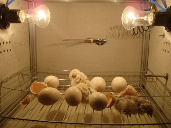 Lưu ý trong quá trình ấp trứng gà