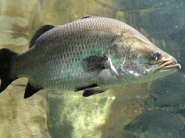 Kỹ thuật nuôi cá chẽm trong lồng