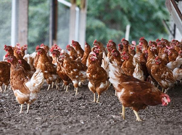 Điều trị bệnh khô chân ở gà