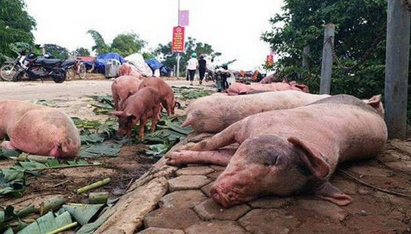 Một đợt thảm họa, gần 6 triệu con lợn tiêu hủy, thiệt hại 12.000 tỷ đồng