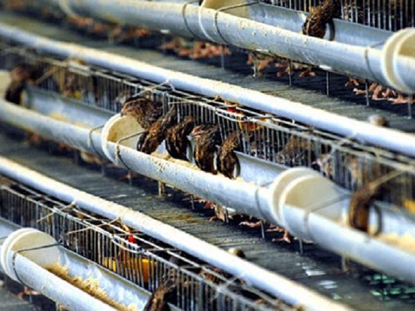 Kỹ thuật làm chuồng nuôi chim cút đẻ đúng tiêu chuẩn