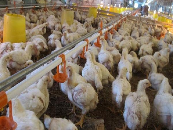 Khắc phục hiện tượng gà con bị mất nước