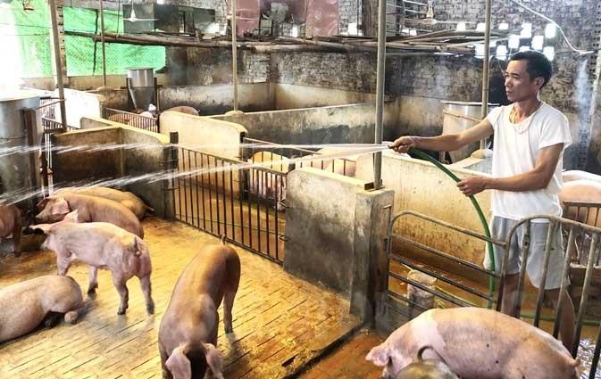 Giá lợn giống tăng kỷ lục, có tiền chưa chắc mua được