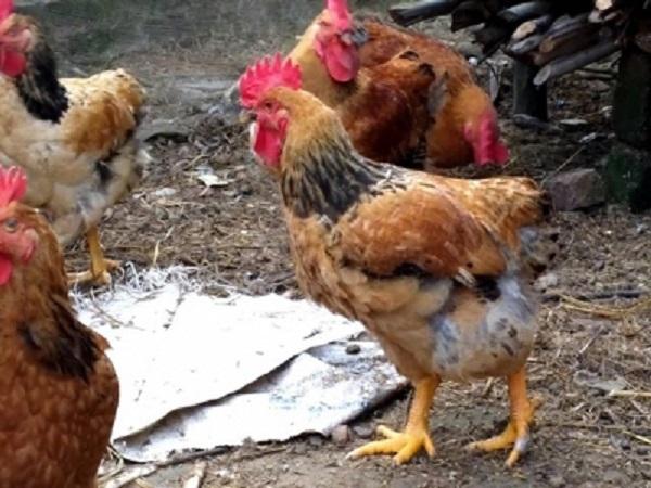 Một số bệnh thường gặp ở gà vào mùa hè và cách phòng trị