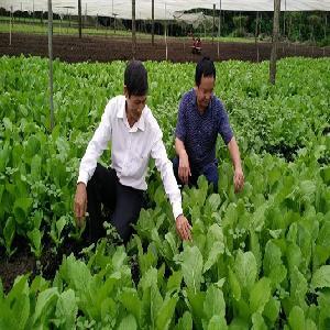 Người phụ nữ tự ủ phân, chế thuốc trừ sâu để trồng rau sạch, trồng nấm
