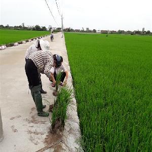 Nam Định công bố dịch lùn sọc đen hại lúa vụ mùa