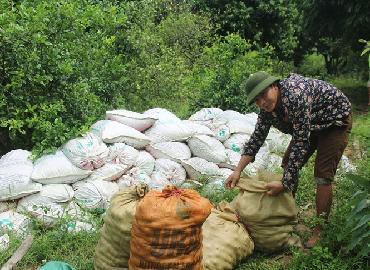 Giá chanh Nghệ An mùa thu hoạch