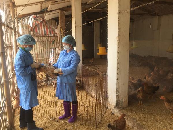 Hà Nội: Chủ động phòng chống dịch cúm gia cầm dịp cuối năm