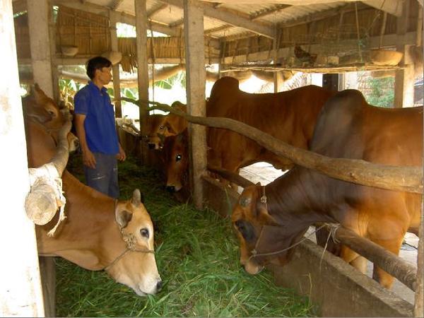 Bí quyết nuôi vỗ béo bò hiệu quả nhất hiện nay