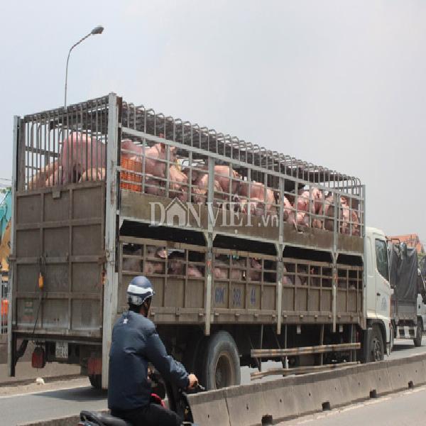 Giá lợn hôm nay 1.10: Giá thịt tại TPHCM đã ổn định sau vụ bơm thuốc an thần, Đông Nam Bộ còn 28.000-32.000 đ/kg