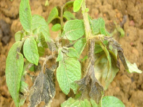 SB-Bệnh hại chủ yếu và biện pháp phòng trừ cho khoai tây vụ đông