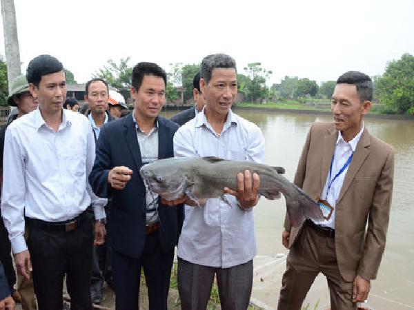 Hiệu quả nuôi cá Nheo Mỹ trong ao đất