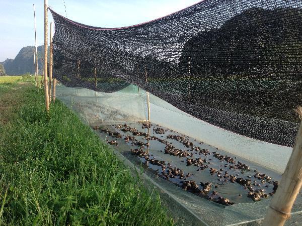 NT-Những lưu ý khi nuôi ếch trong lồng lưới