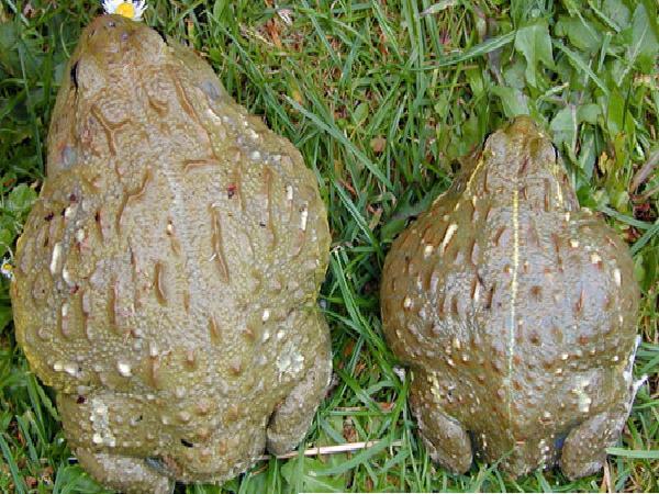 NT-Sinh sản và ương, nuôi ếch thịt