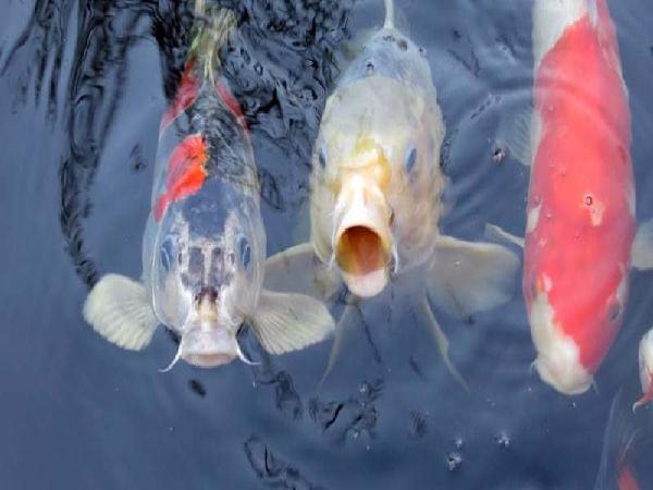 NT-Nuôi ghép cá thát lát còm với cá chép V1