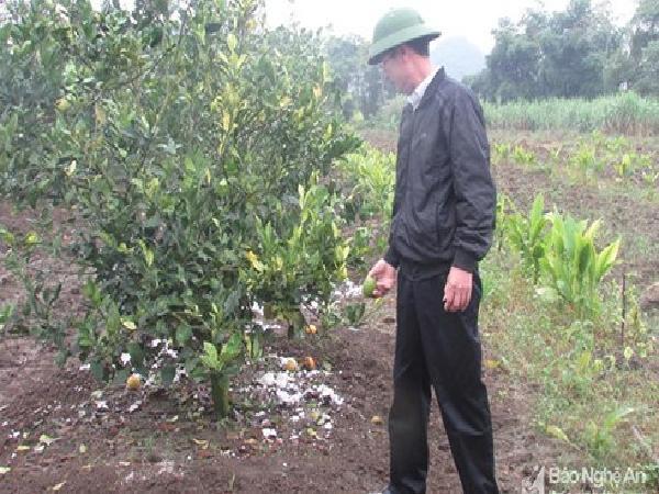 Người trồng cam ở Nghệ An lao đao vì dịch bệnh, giá 3.000 đồng vẫn ế