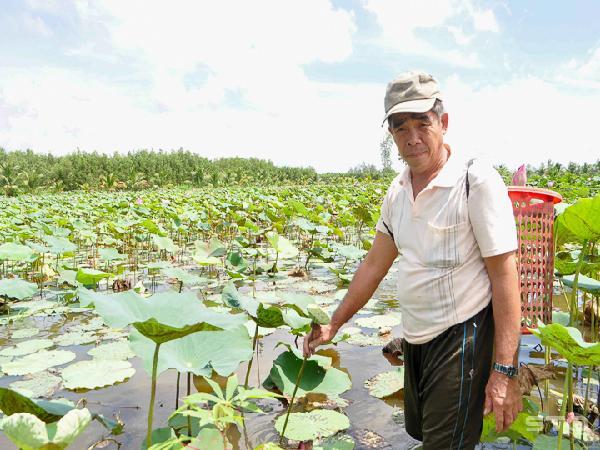 Làm giàu từ trồng sen kết hợp thả cá đồng
