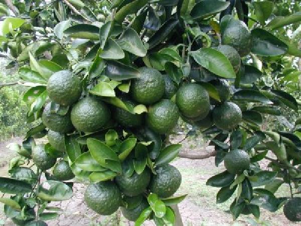 CS-Hướng dẫn kỹ thuật chăm sóc cây cam sau thu hoạch