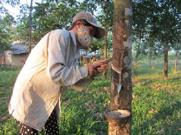 """Triết lý """"6 cây, 2 con"""" ở đất nghèo Quảng Trị: Bỏ cây cao su (kỳ 1)"""