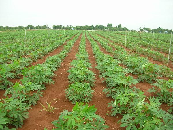 CS-Kỹ thuật trồng sắn trên đất dốc