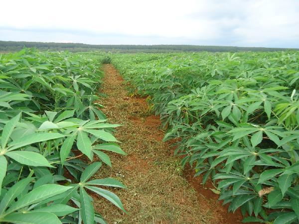 CS-Kinh nghiệm trồng mì (Sắn) đạt năng suất, chất lượng cao