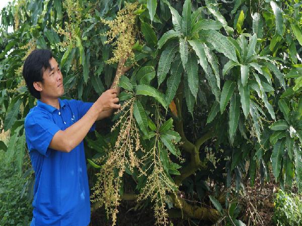 CS-Một số kinh nghiệm trong sản xuất và xử lý ra hoa trên xoài cát Hòa Lộc