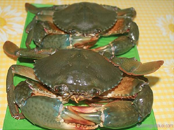 NT-Kỹ thuật nuôi cua biển thương phẩm: nuôi cua con thành cua thịt
