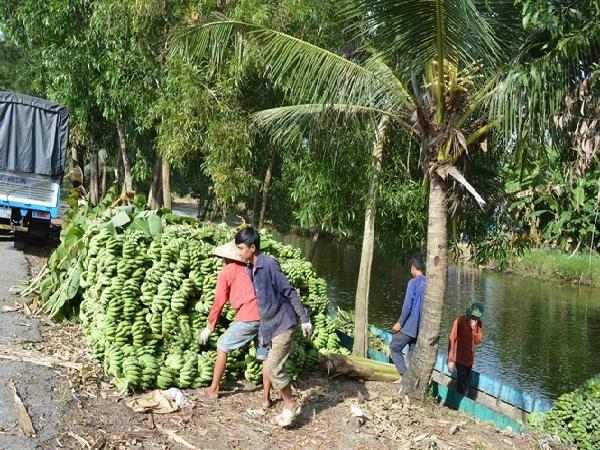 Kiên Giang: Chuối, mía, khóm ở Kiên Giang rớt giá