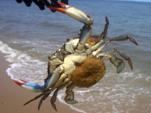 NT-Kỹ thuật nuôi cua biển thương phẩm: nuôi cua gạch