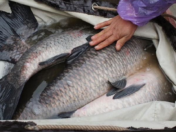 NT-Quy trình nuôi cá trắm đen thương phẩm trong ao