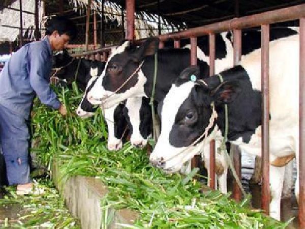 N-Quản lý chuồng trại trong chăn nuôi bò sữa theo VIETGAHP