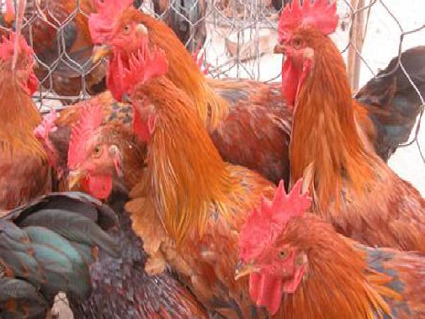 N-Khắc phục stress hại gà