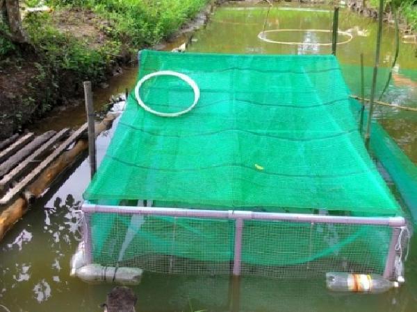 NT-Kỹ thuật nuôi lươn thương phẩm trong lồng đặt trong ao đất