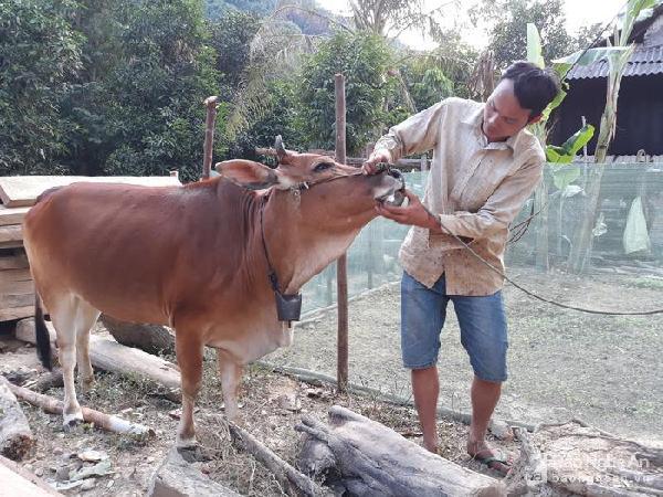Dịch bệnh khiến trâu bò chết hàng loạt ở Kỳ Sơn, Nghệ An