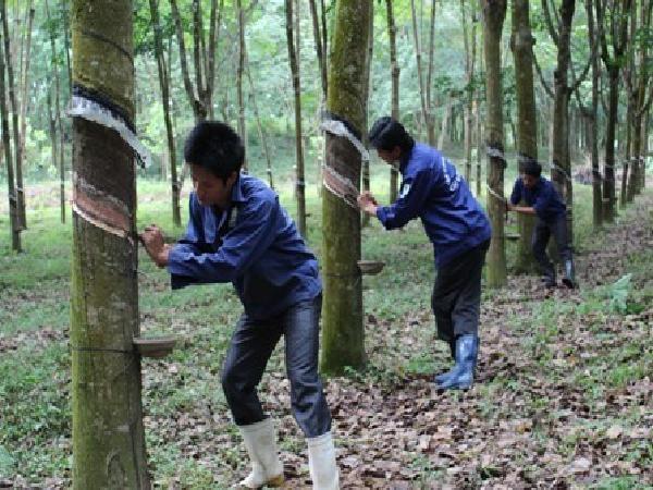 TH-Kỹ thuật khai thác cây cao su