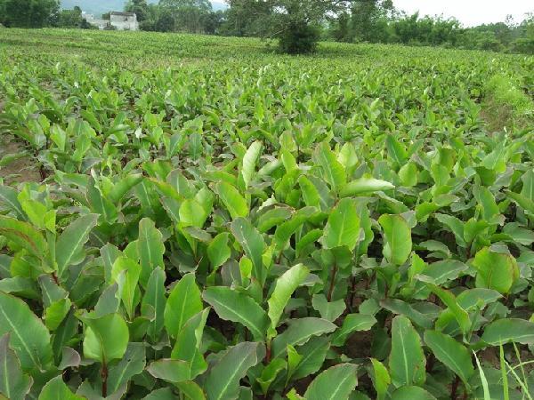 CS-Hiệu quả từ mô hình trồng dong riềng giống mới