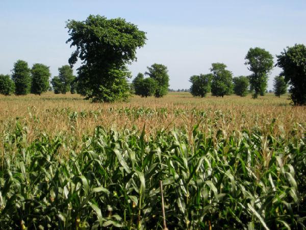 CS-Kỹ thuật trồng bắp vụ hè thu