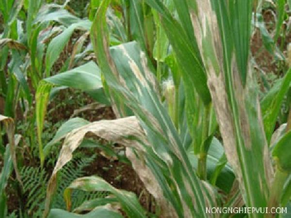 SB-Phòng trừ bệnh sọc lá trên cây bắp