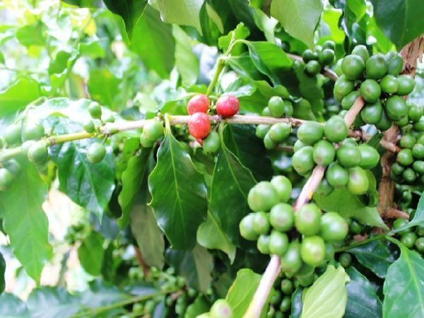 """Phê duyệt Đề án khung phát triển sản phẩm quốc gia """"Cà phê Việt Nam chất lượng cao"""""""
