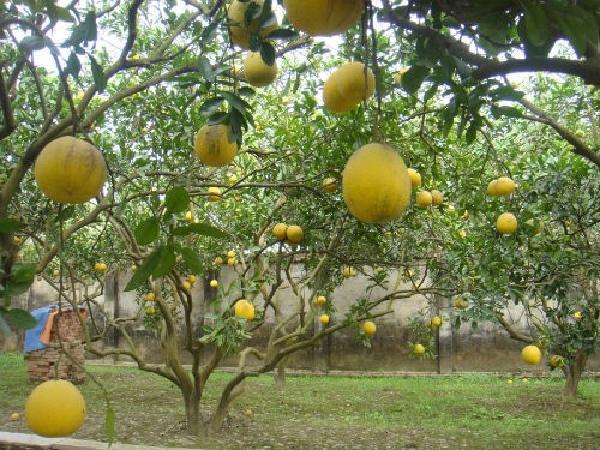 TH-Chăm sóc cam, quýt, bưởi sau thu hoạch