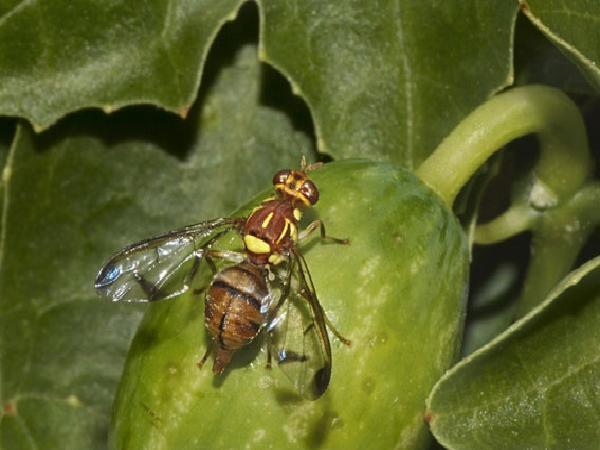 SB-Ruồi – côn trùng đang gây hại trên bưởi