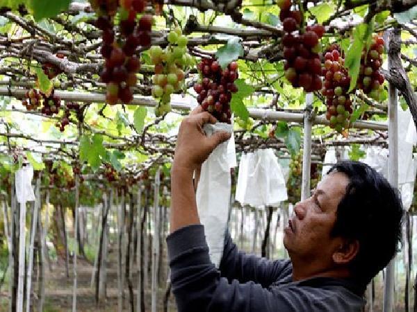 Mưa bão kéo dài nông dân Ninh Thuận mất mùa nho Tết