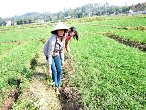 Bà con nông dân Nghệ An trồng hành theo quy chuẩn VietGap