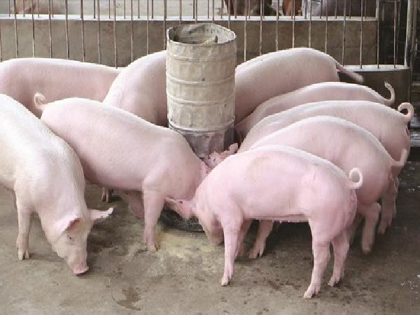 Những chất tăng độ đạm trong thức ăn chăn nuôi độc với cơ thể người ra sao?